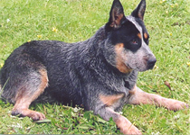 Australian-Cattle-Dog-Dog