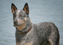cattle-dog