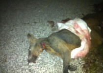 Animal found mutilated by residents.