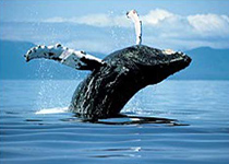 Whaling – An Affront to Decency and National Sovereignty